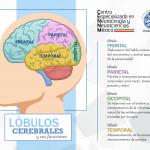 Lóbulos Cerebrales y sus funciones